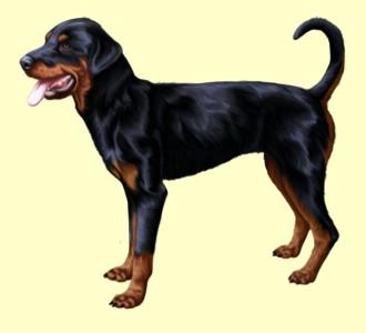 Dobermann - Rottweiler ##STADE## - robe 1288