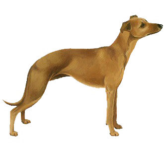 Lévrier Whippet chien - robe 17