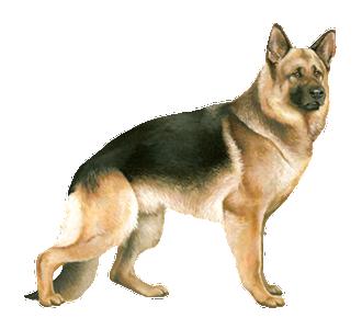 Berger Allemand chien - robe 30