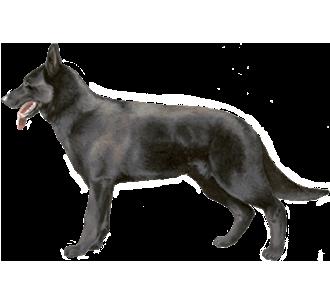 https://data.dogzer.com/img/14-race-chiens-bergers-allemands/51-robe-noir/2-chien-berger-allemand-2.png