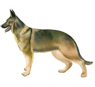Berger Allemand chien - robe 52