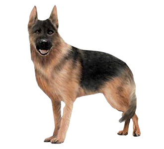 Berger Allemand chien - robe 71
