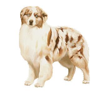Berger Australien chien - robe 28