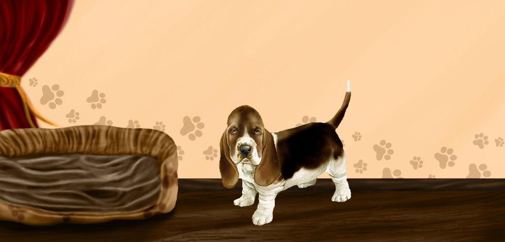 Choco - Basset Hound de 7 mois
