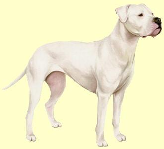 Dogue argentin ##STADE## - robe 55