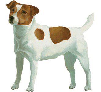Jack Russel Adulte - robe 60
