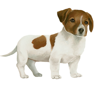 Jack Russell Chiot - robe 60