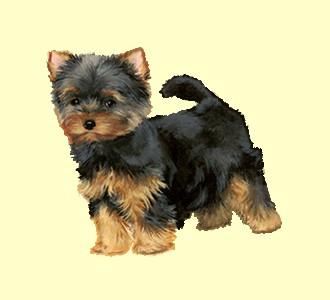 Recueillir un chien de race yorkshire