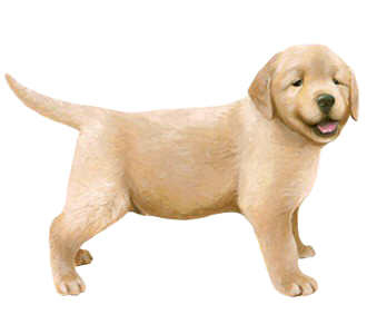 Golden Retriever chiot - robe 54