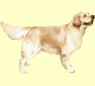 Golden Retriever ##STADE## - robe 54