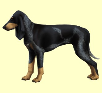 Chien courant Lucernois ##STADE## - robe 1
