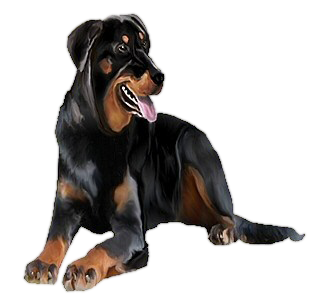 Beauceron Adulte - robe 104