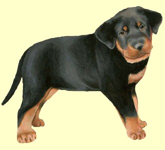 Beauceron chiot - robe 30