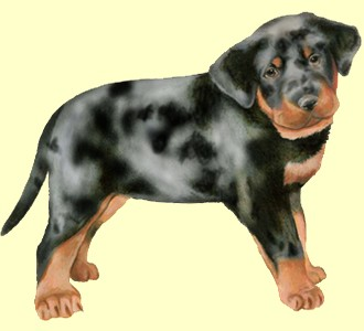 Beauceron chiot - robe 58