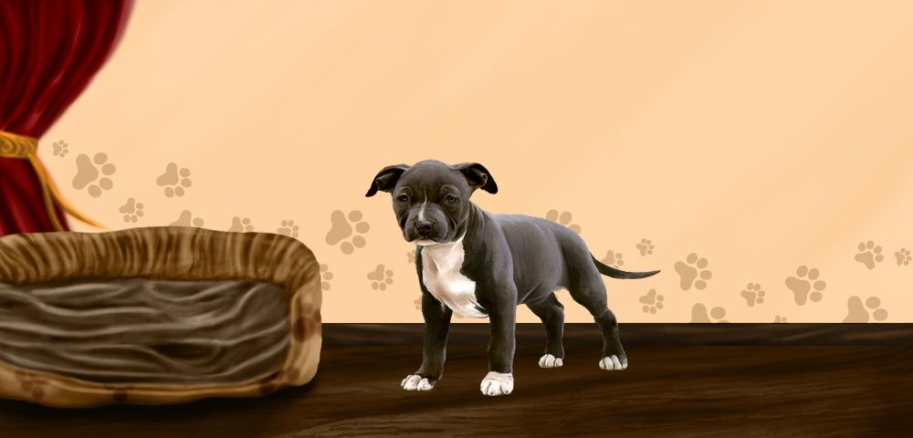 Atyna - American Staffordshire Terrier de 0 mois