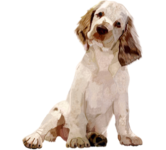 Clumber Spaniel Adulte - robe 1340000026