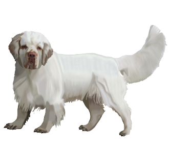 Clumber Spaniel Adulte - robe 1506