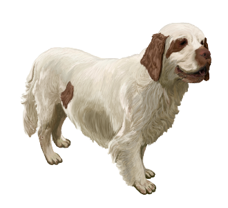 Clumber Spaniel Adulte - robe 1521