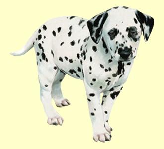 Recueillir un chien de race dalmatien