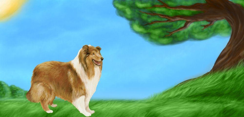 Lassie - Colley à poil court de 2 ans et 4 mois