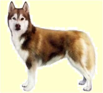 Husky chien - robe 147