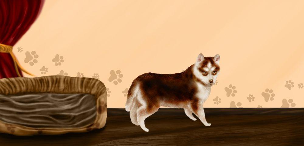 Caramel - Husky Sibérien de 1 an et 1 mois