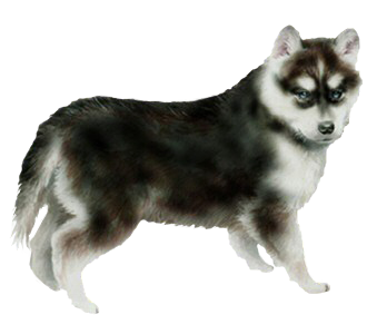Husky chiot - robe 51