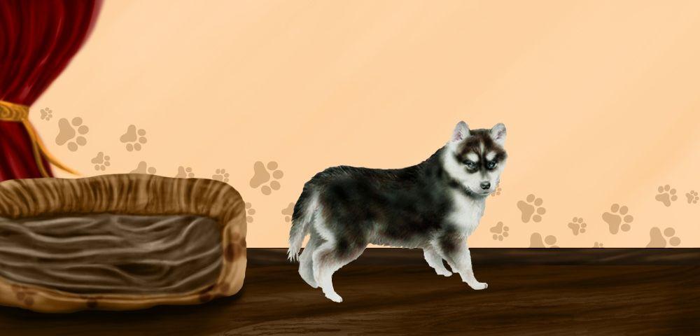 love - Husky Sibérien de 9 mois