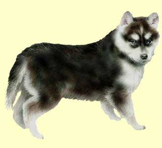 Recueillir un chien de race husky
