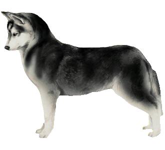 Husky chien - robe 51