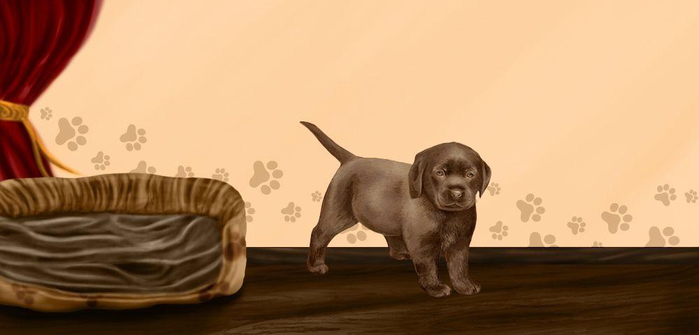 Roxy - Labrador Retriever de 2 mois