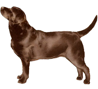 Labrador chien - robe 13