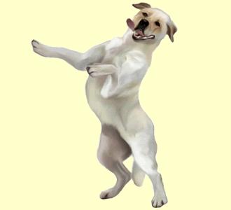 Labrador Adulte - robe 223