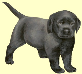 Recueillir un chien de race labrador