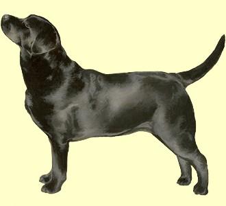 Labrador ##STADE## - robe 51