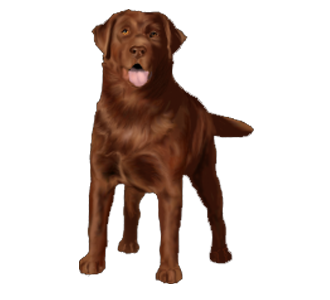 Labrador Adulte - robe 838