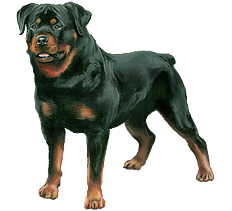 Rottweiler Adulte - robe 30