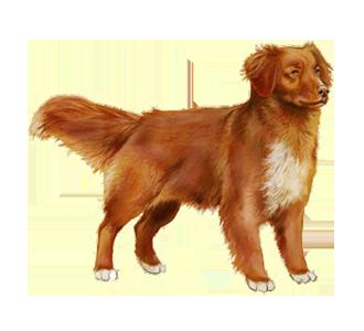 https://data.dogzer.com/img/45-race-chiens-retrievers-de-la-nouvelle-ecosse/41-robe-roux/2-chien-retriever-nouvelle-ecosse-2.png