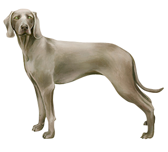 Braque de Weimar chien - robe 52