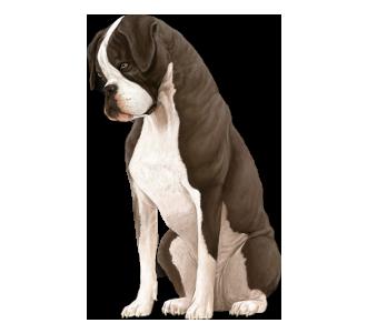 Boxer Adulte - robe 1102