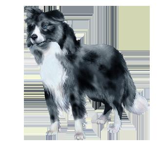 Border Collie chien - robe 1