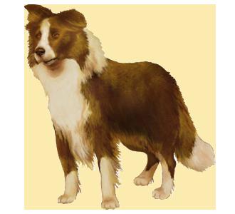 Border Collie chien - robe 39