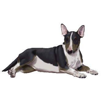 Bull terrier Adulte - robe 1158