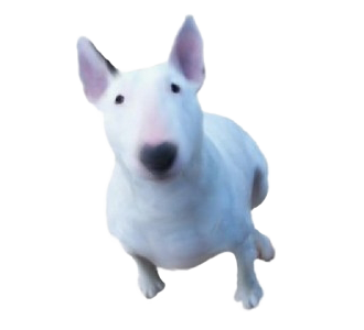 Bull terrier Adulte - robe 709