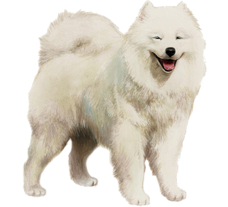 Samoyede Adulte - robe 7