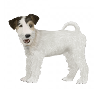 Fox terrier Adulte - robe 1088