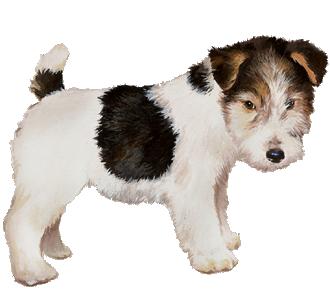 Fox terrier Chiot - robe 52