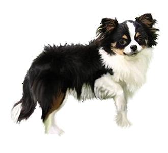 Chihuahua chien - robe 115