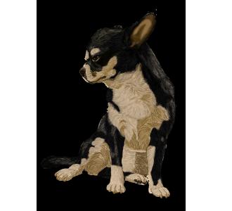 Chihuahua Adulte - robe 1417