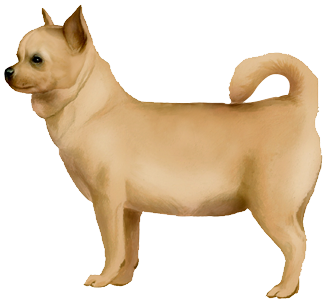 Chihuahua Adulte - robe 17